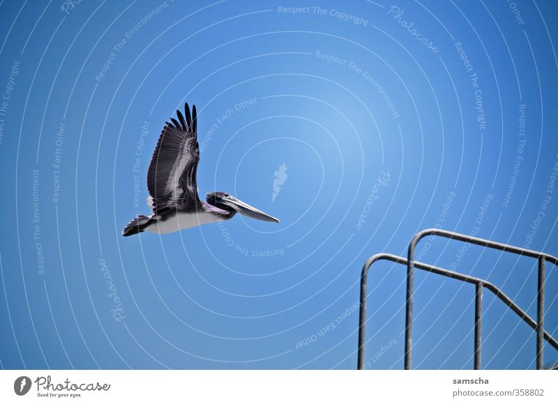 through the air Summer Summer vacation Sun Ocean Environment Nature Animal Air Sky Cloudless sky Wild animal Bird Wing 1 Flying Pelican Flight of the birds