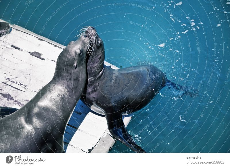 seals Vacation & Travel Tourism Trip Adventure Summer Summer vacation Ocean Environment Nature Animal Water Coast Wild animal 2 Pair of animals Fight Kissing