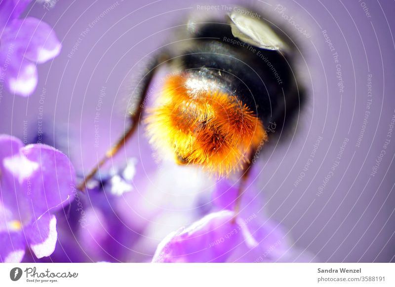 bumblebee butt Bumble bee bees bleed Nectar pollination Lavender Fragrance Fragrant Hairy hair Grand piano Insect insects macro