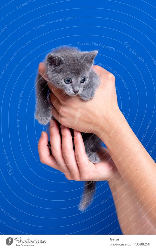Little kitten with grey hair feline cat puppy domestic fur animal blue hand portrait pet mammal one purebred young isolated eye beautiful whisker face kitty