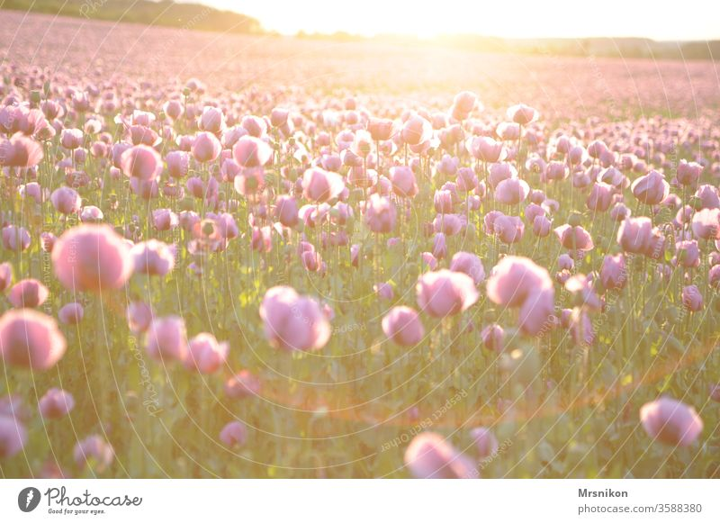 Evening mood in the poppy field Poppy Poppy field poppies Poppy capsule Pink Poppy blossom baking poppy Sunset Dusk Field Crops Horizon being out Land Feature