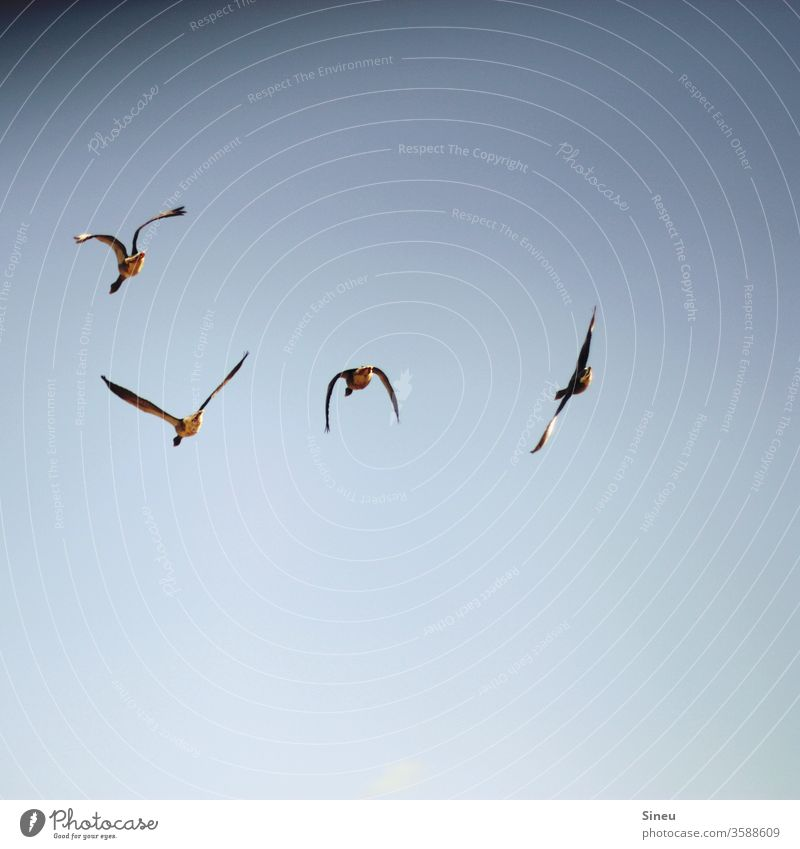 above the clouds birds Animal Wild animal Seagull Flying flying birds Air in midair Sky Cloudless sky Blue Movement Grand piano Freedom Nature Exterior shot