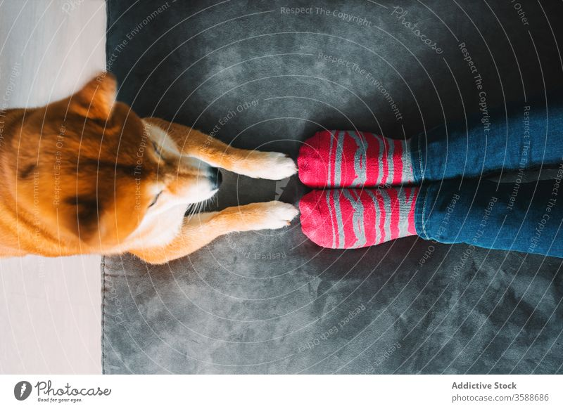 Crop woman with dog resting at home owner shiba inu pet companion free time weekend sofa female young jeans stripe sock cute paw friend akita akita inu canine
