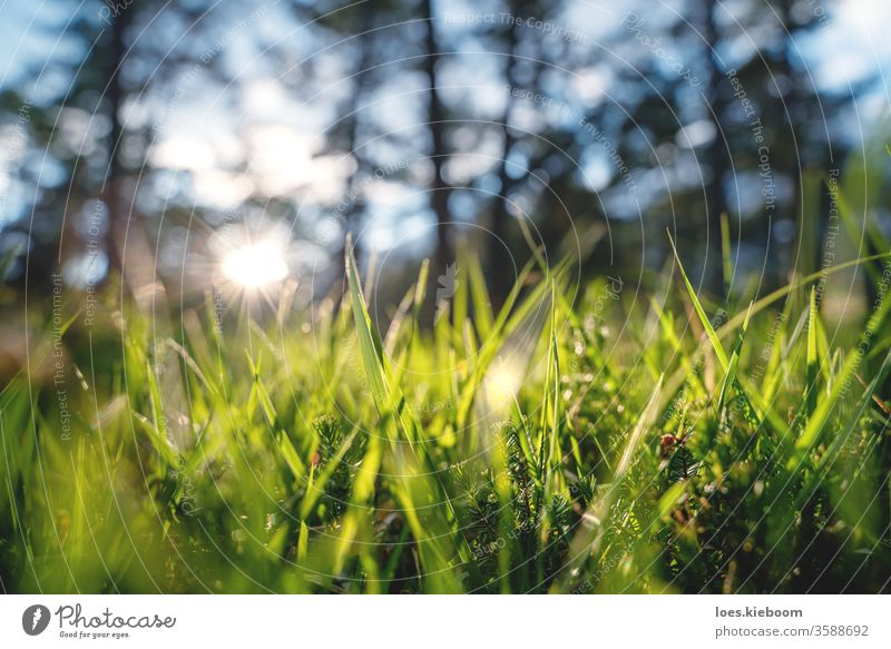 Close up of woodland with grass and young evergreens during sunset in a forest, Mieminger Plateau, Austria plant light nature natural season beautiful beauty