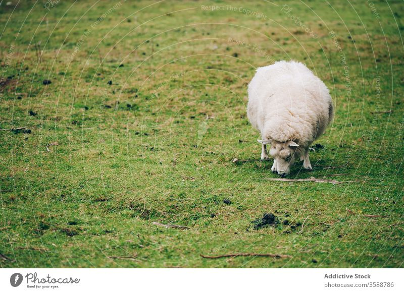 White sheep grazing on green lawn pasture grass ireland meadow fur single graze valley scenic farmland domestic feed animal nature agriculture livestock mammal