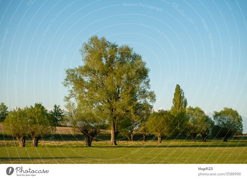 Willows Group of trees Willow tree graze wicker Deciduous tree Summer Sun sunshine green Sky Blue Cloudless sky great Old Nature Exterior shot Landscape