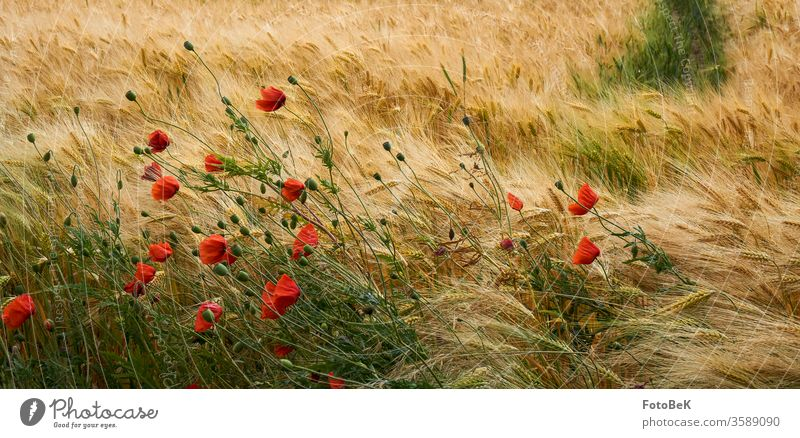 Cereal field with poppy flowers Grain field Cornfield Summer Poppy poppies Red Yellow green Agriculture Environment Nature Barleyfield