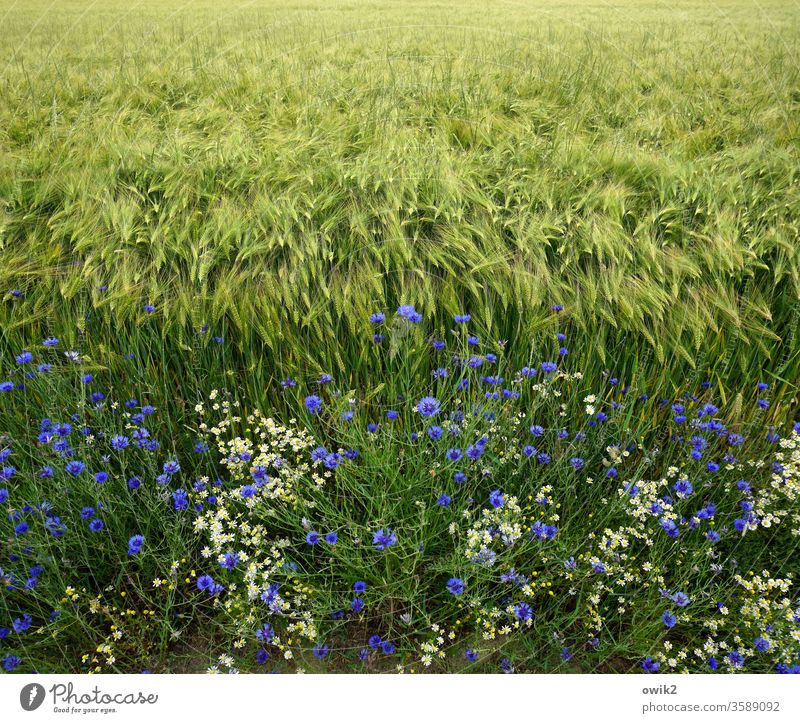 Grain and flowers Field acre Margin of a field Cornfield cornflowers Nature Agriculture Grain field green Plant Exterior shot Landscape Environment