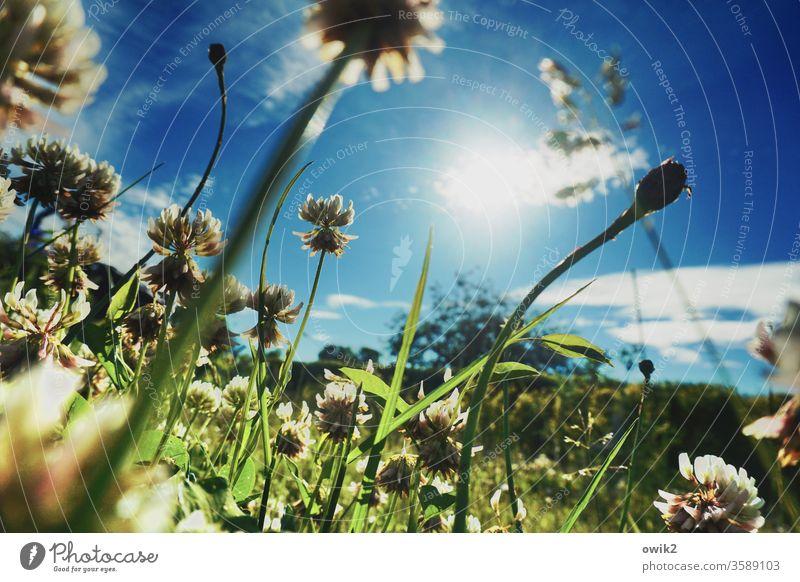 small landscape Meadow Grass Worm's-eye view Under stalks Illuminate wax blossom meadow flowers Shallow depth of field Sky Clouds Sun Sunlight Back-light move