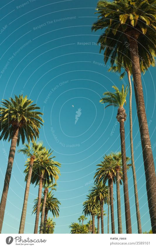 Tall palms of Beverly Hills in Los Angeles r los angeles trees beverly hills street la california road retro blue sky travel view sun tourism usa drive famous