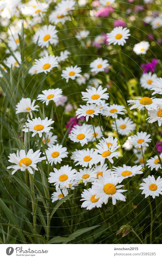 A wild natural meadow with many white daisies flowers Marguerite Summer spring Nature Yellow green Macro (Extreme close-up) Blossoming White Plant bleed