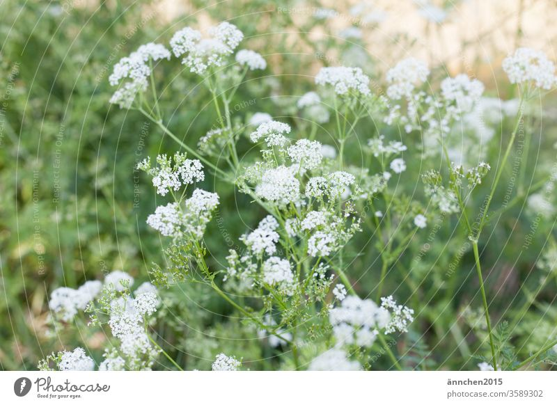 white flowers of a summer meadow with sunshine Meadow White green Summer spring blossom bleed Nature Plant Close-up Garden Colour photo Deserted Grass