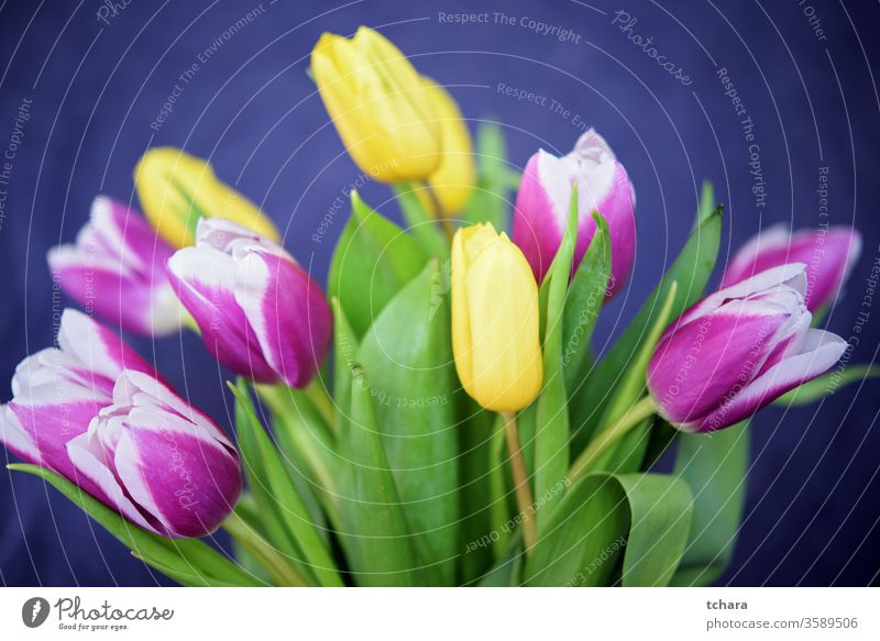 Bouquet of beautiful yellow and purple tulips on a dark blue background Banner copy Paper Plant Card Room Decoration Head pulsating Design environmental