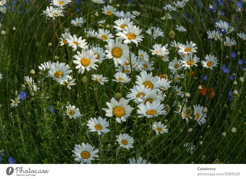 Margaret flora flowers bleed Flax Linen flaked fragrant Blossoming Summer Garden meadow flowers Meadow Plant Nature Environment green Yellow White