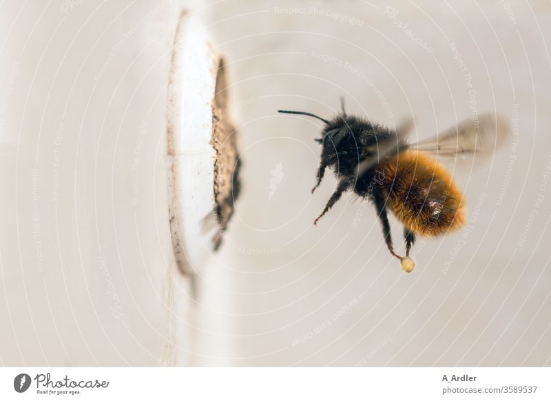 Macrograph of a mason bee (Osmia cornuta) in flight Bee bees Brood cell Loam Hollow Nature wild bee wild bees Flying Mason bee Insect Animal