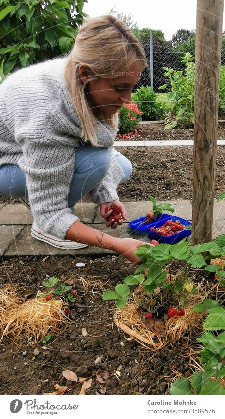 Happily picking strawberries Strawberry Garden Colour photo fruit Summer Food Nature Organic produce Nutrition Vegetarian diet Healthy Eating Style Design Diet