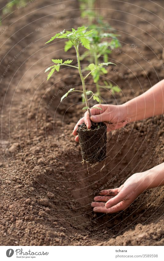 Female hands seeding new tomato plant in a vegetable garden selective details bush glasshouse close-up seasonal monoculture dirt freshness natural sunlight