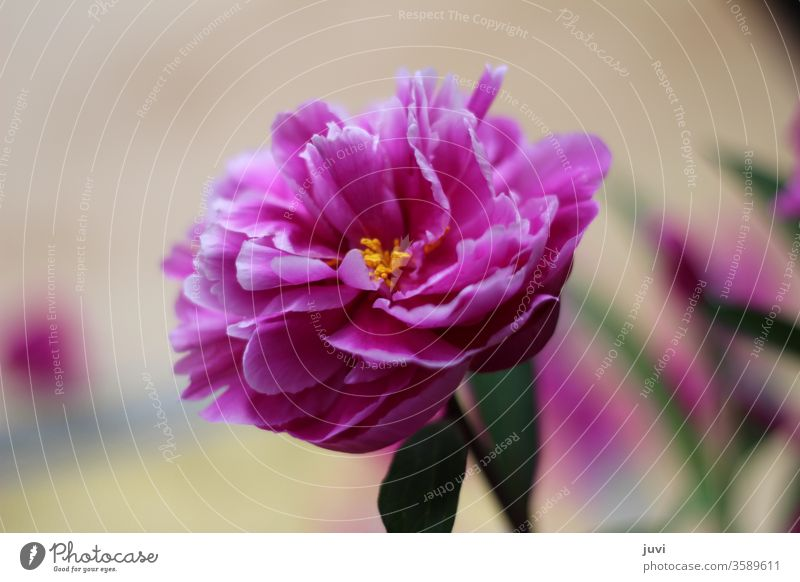 pink peony against a blurred background Peony flowers blooms blossom flourished Beige yellow pollen green leaves hazy centred centered slender delicate petals