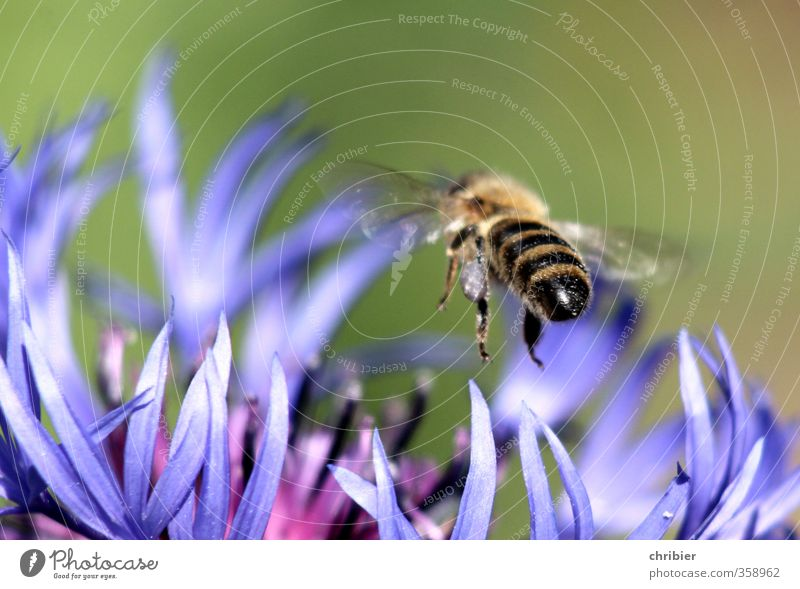 bumblebee butt Landscape Summer Flower Cornflower Garden Meadow Animal Bee Wing 1 Select Observe Blossoming Fragrance Flying To feed Near Blue Green Violet