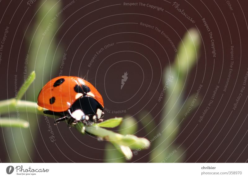 Käwrschn I Nature Landscape Animal Summer Plant Garden Beetle Ladybird 1 Relaxation Crawl Sit Beautiful Small Near Green Red Black Contentment Happy Environment