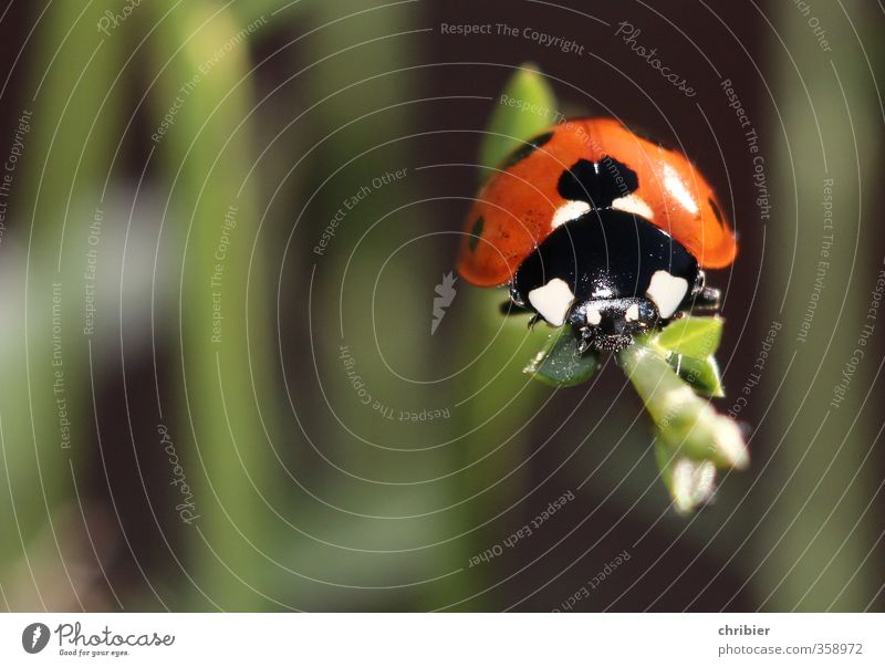 Käwrschn II Environment Nature Animal Summer Plant Beetle Ladybird 1 Observe Relaxation Crawl Sit Wait Beautiful Small Near Green Red Black Contentment Happy