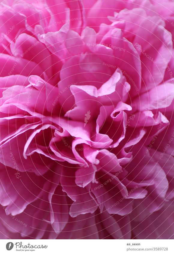 Pink peony blossom Peony bleed pink Light Shadow petals flowers Nature spring Summer already Colour photo Close-up Blossoming Deserted Blossom leave Detail