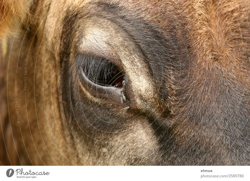 Eye area of the right eye of a young cow of the breed Aubrac with flies animal eye Eyes eye area Eyelashes Fly ox-eye plague of insects Cattle Young cattle