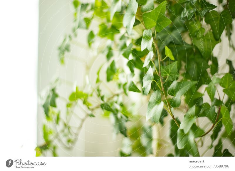 Ivy cinerea Hedera Houseplant Plant Verdant White Flat (apartment) room floral flaked leaves climbing plant helix green Botany Green thumb civilized