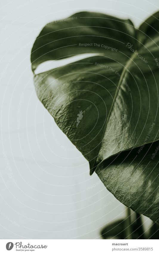 Monstera Wallpaper monstera blatt fensterblatt blätter dekoration riesig groß pflanze pflanzlich floral grün weiß hell zimmerpflanze wallpaper poster