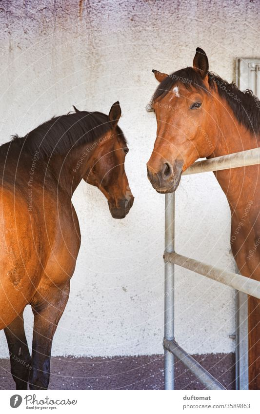 Two horses in the stable, arrogant look Horse Horse's head Stable Horse breeding Horseback Barn boxes Brown Looking Wait Animal Animalistic Animal portrait Ride
