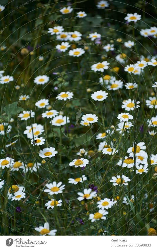 Carpet of flowers in the bright and warm spring, chamomile nobody floral cloud pasture outdoor rural camomile daisy field nature sky fresh land country