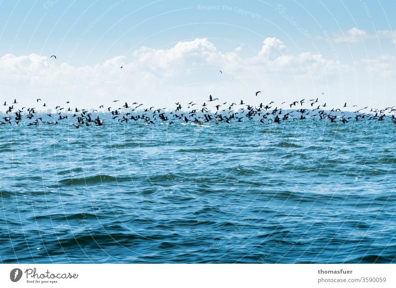 large flock of cormorants over the sea approaching a school of herring birds Cormorant Flock Ocean Horizon Clouds Sky Blue Waves To feed fishing Plagues