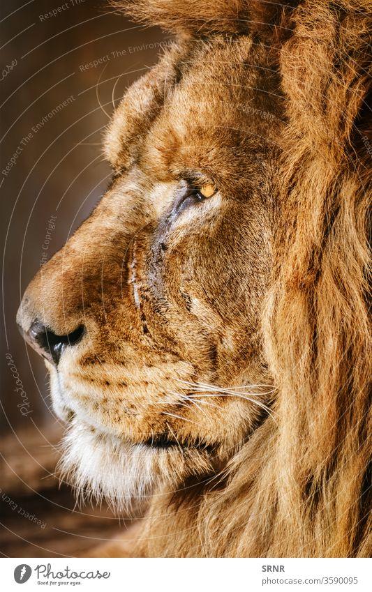 Portrait of Lion animal big cat lion mammal mane muzzle panthera leo portrait predator scavenger wild