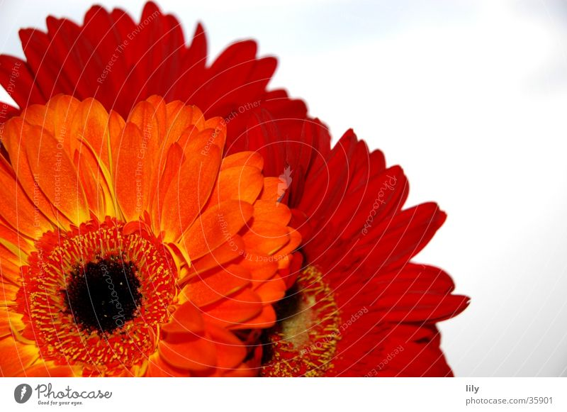 Sky Flower Red Orange Gerbera