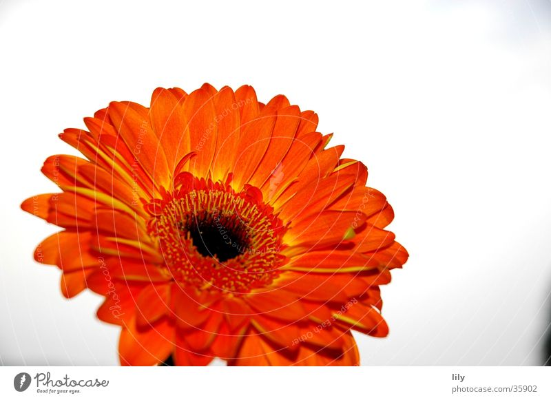 Sky Flower Orange Gerbera