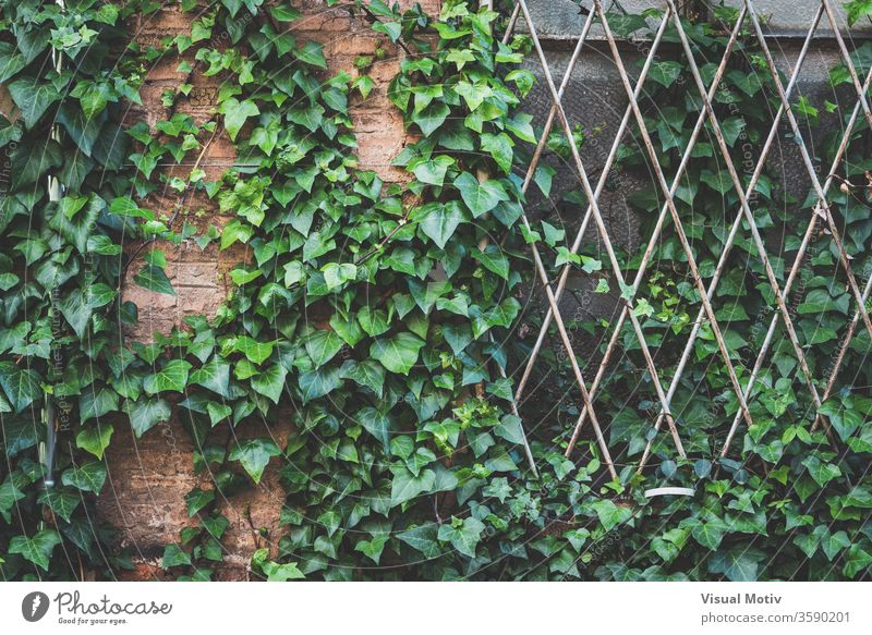 Green ivy plant climbing the brick wall and the window grille of an abandoned old factory overgrown glass green aged weathered building flora texture natural