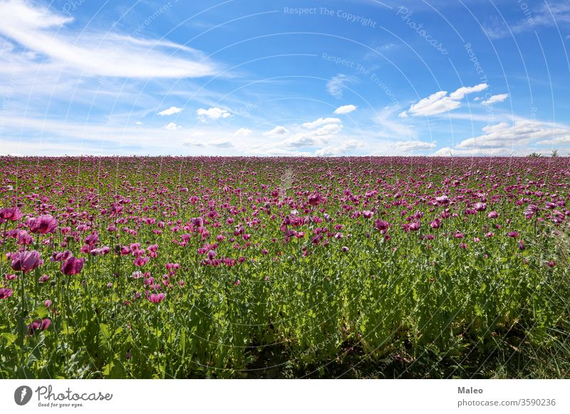 Field of red violett Poppy Flowers in Summer agriculture background beautiful beauty bloom blossom bud clouds color colorful country countryside decorative