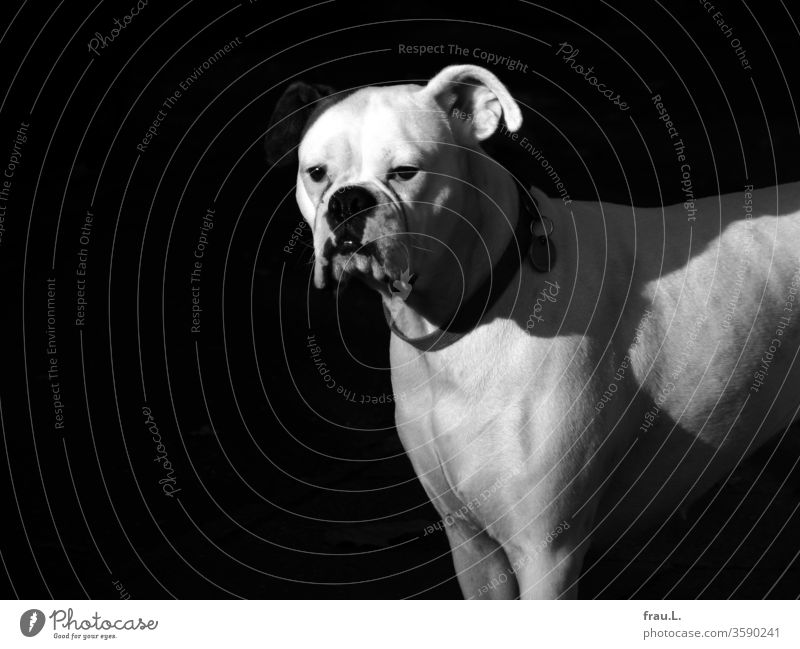 The white boxer bitch looked sad, because her right ear was badly illuminated. Dog Boxer Pet Animal portrait Exterior shot Sunlight