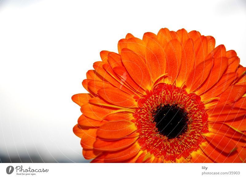 Gerbera orange #2 Flower Macro (Extreme close-up) Close-up Orange Sky Contrast rich colour Mother's Day