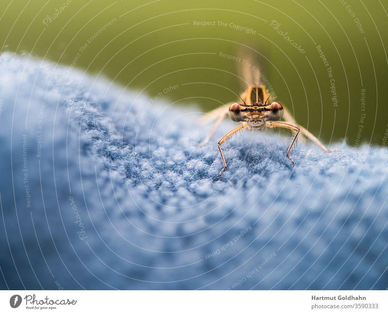 Makroaufnahme einer kleinen gelben Libelle die auf blauen Gewebe sitzt und in das Objektiv blickt. Aufnahme von vorn. Der Fokus liegt auf den Augen der Libelle.