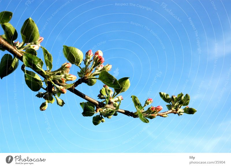 Summer Leaf Blossom Twig Blue sky Apple tree