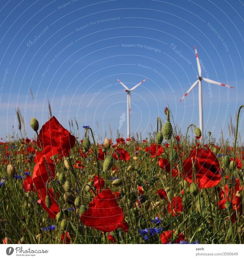 Poppy and windmills in front of a blue sky flowers bleed Plant Garden Bed (Horticulture) Blue blossom Blossoming green Summer spring Nature Growth Flower meadow