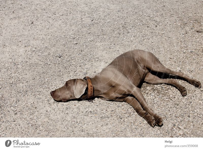 Dog Beautiful Relaxation Calm Animal Life Feminine Gray Brown Lie Earth Contentment Authentic Beautiful weather Esthetic Simple