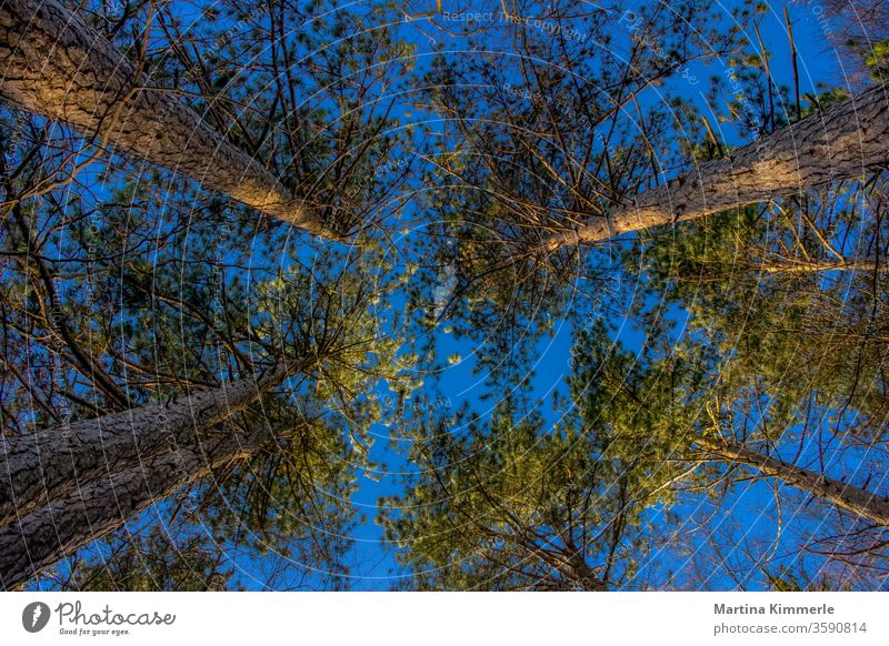 Pines photographed from bottom to top against a blue sky in the evening sun Branch tree flaked leaves huts spring green Autumn Sky wood Season Jawbone Landscape