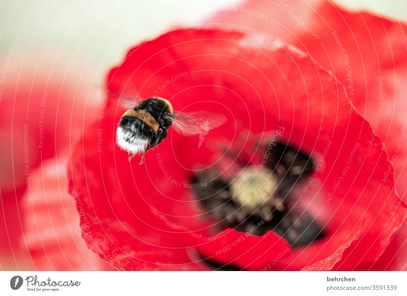 limp limp... poppy poppy Close-up Meadow already Agricultural crop Light Landscape Blossom leave Deserted Environment Warmth Wild plant Colour photo