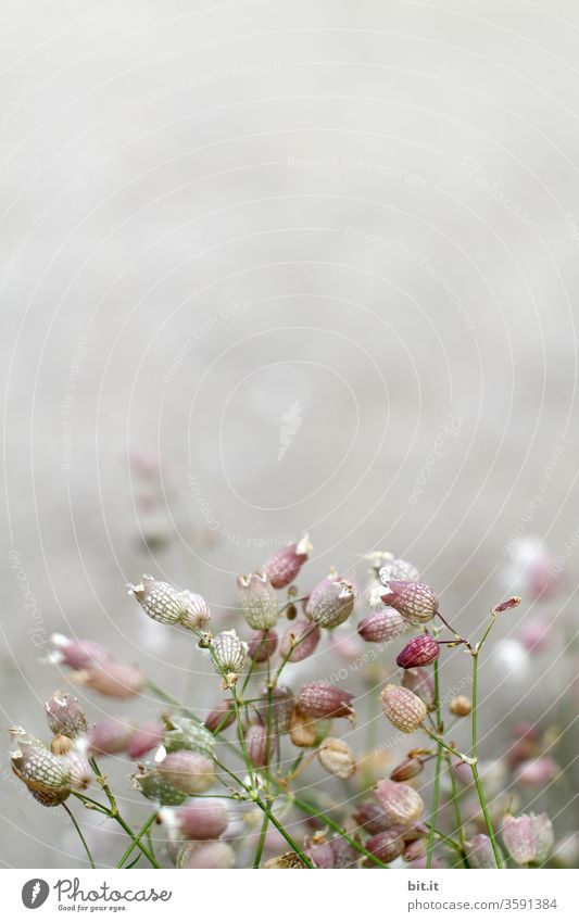Many, filigree, light summer flowers with faint depth of field in front of a white, grey, light background. Delicate pink carnation flowers with a blurred effect. Wild flowers, spring flowers small, round, fresh, blooming as decoration, decoration in front of bright wall.