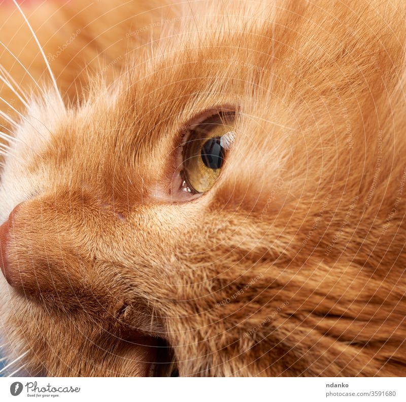 open yellow eye of a red cat adorable adult animal background black brown closeup color cute detail domestic eyes face feline fluffy fur ginger hair head kitten