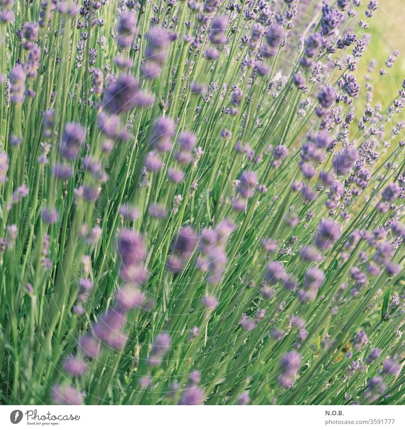 Lavender square Plant bleed Violet Fragrance Nature flowers Colour photo Summer Shallow depth of field Exterior shot Day Blossoming green Deserted
