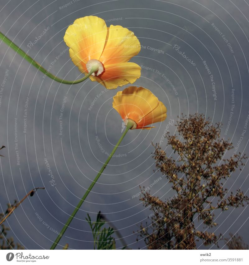 It blooms California poppy Poppy bleed blossom Ambitious upstairs Sky Contrast view from below Flash photo tree Growth Yellow two Couple flowers Plant