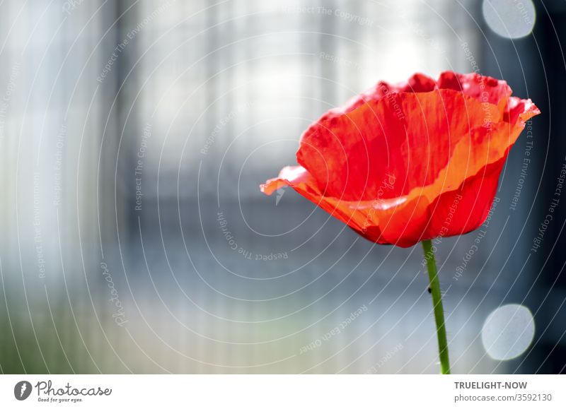 A single poppy flower, which presents itself less bright red in youthful freshness than in elegant fine paleness, while also using a filigree structured background in subtle grey tones for itself white